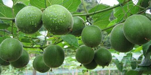 罗汉果施用有机肥的技术