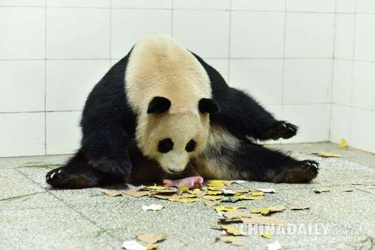 """大熊猫双胞胎""""巨婴""""于今晨在中国大熊猫保护研究中心诞生"""