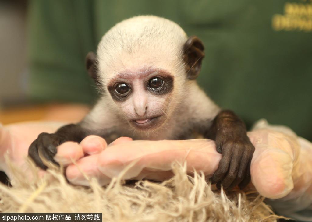 当地时间2016年8月26日,英国德文郡,Paignton动物园内迎来了新出生的一只黑白疣猴,与其他小伙伴不同的是,这只小猴子是通过刨腹产出生的,而且长得和《哈利波特》里的伏地魔竟然一样。这也是德文郡平恩顿动物园(Paignton Zoo)的工作人员,首度为灵长类动物进行剖腹产。猴宝宝的母亲艾薇(Ivy)由于有可能难产,因此园方不得不动刀。目前母子都获得园方24小时的全天候照顾。