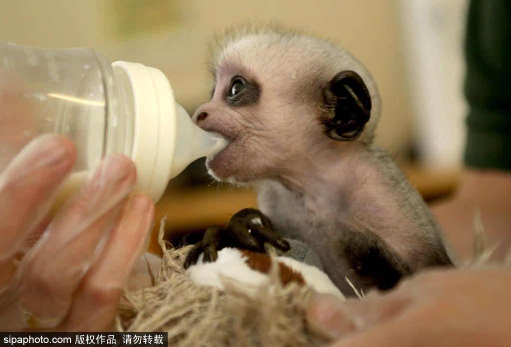 英国动物园刨腹产出生的猴宝宝 竟然长得像伏地魔