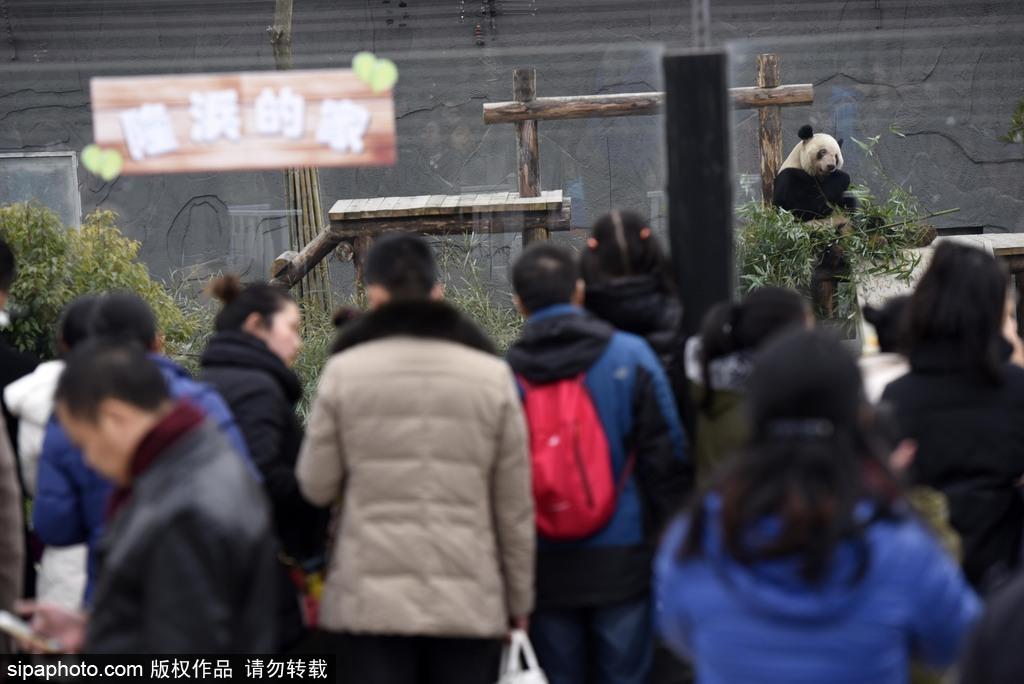 江苏动物园国宝大熊猫首次对外开放 吸引数万游客围观