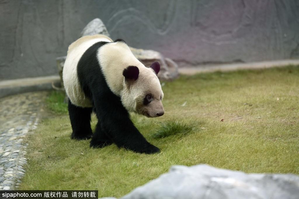 """国宝大熊猫阿宝和隆浜从成都大熊猫繁育研究基地入住""""新家""""淮安动物园"""