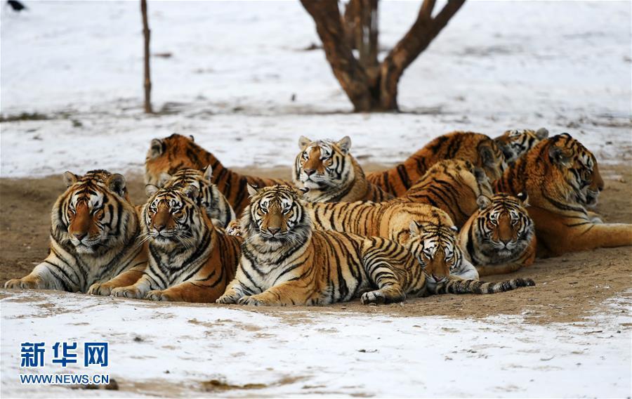 黑龙江东北虎林园:老虎越冬