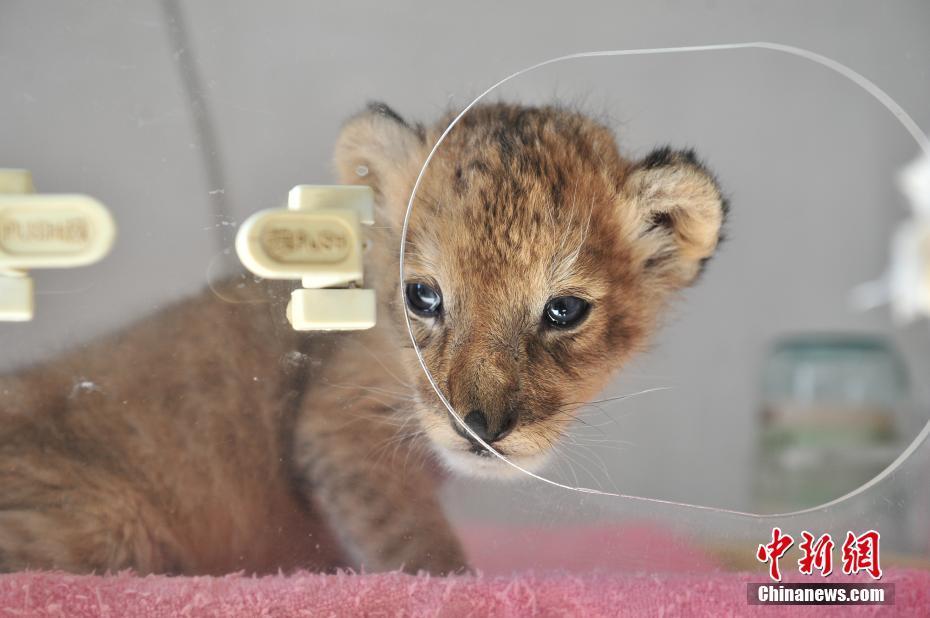 云南野生动物园新添小狮子