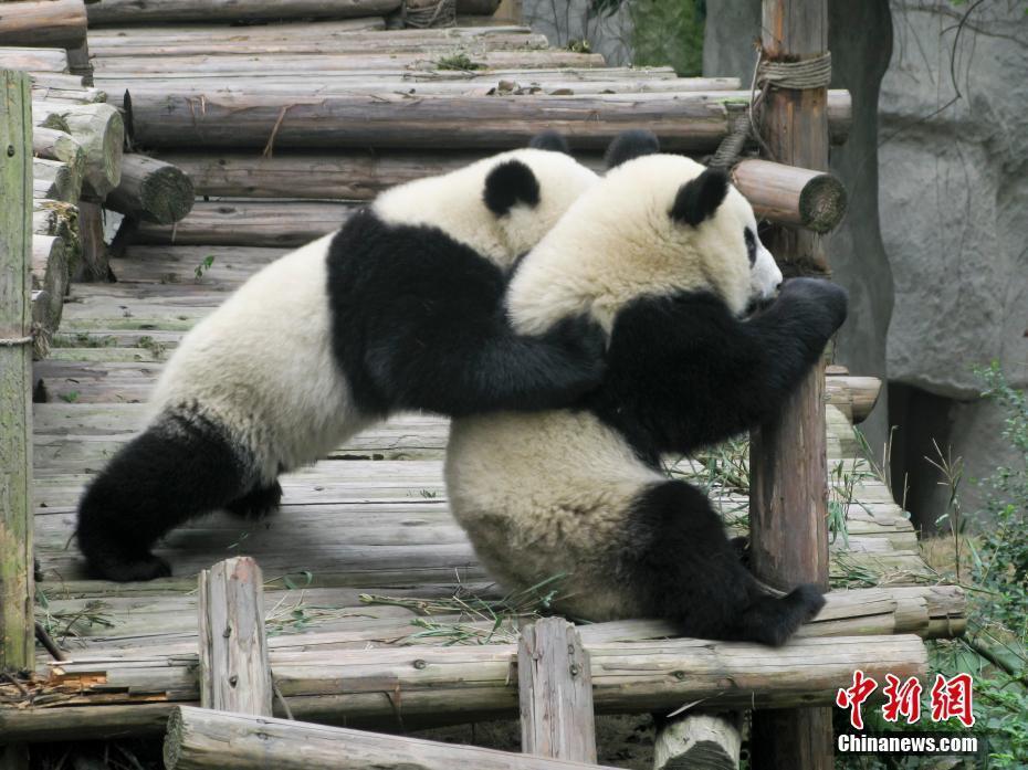 大熊猫繁育研究基地:国宝乐园