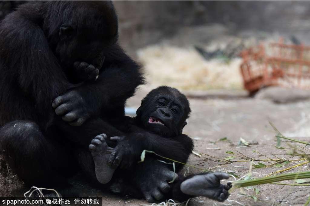 """园中一只九个月大的小猩猩玩耍嬉戏,全程憨态可掬,""""人模人样""""十分可爱"""