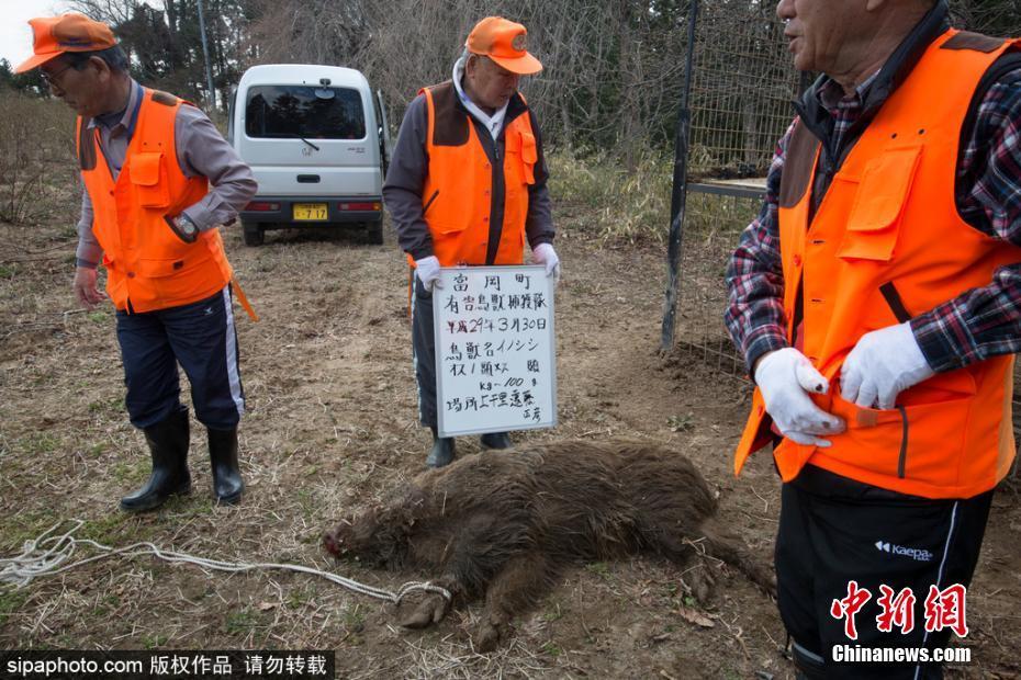 日本/当地时间2017年3月30日,日本福岛,日本相关防控部门猎杀放射...