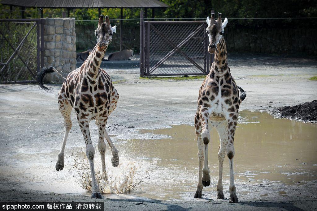 捷克动物园里的长颈鹿 撒欢儿跳水坑呆傻可爱