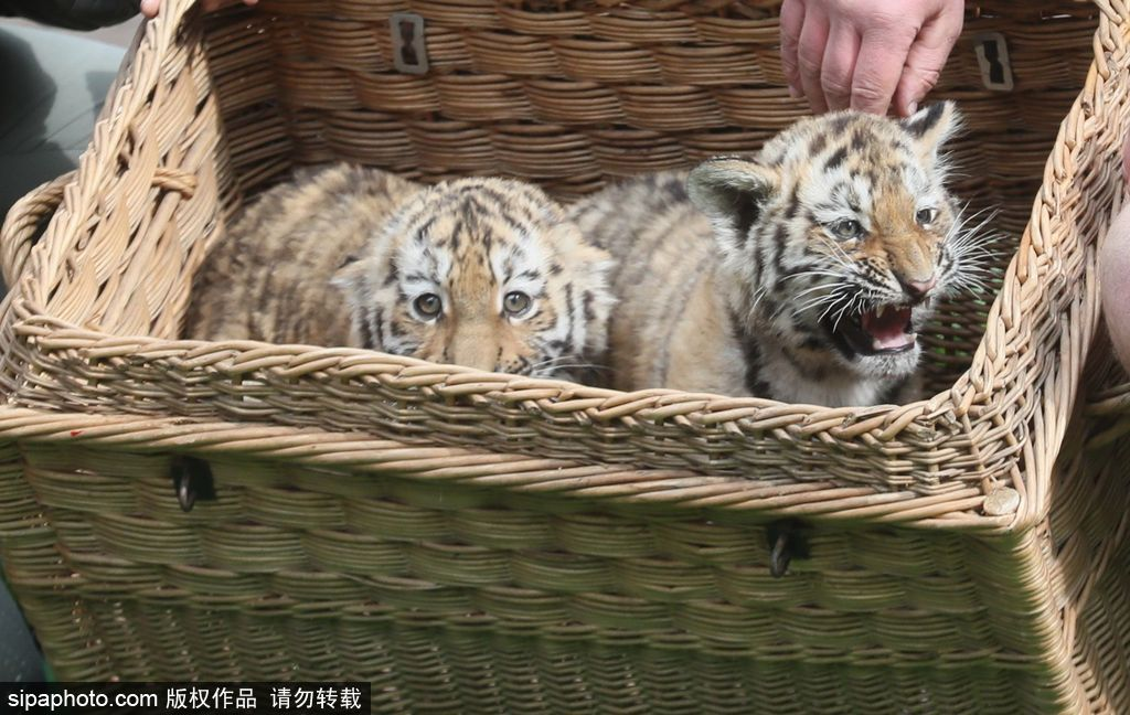 德国莱比锡:小老虎在妈妈陪同下首次亮相 呆萌可爱