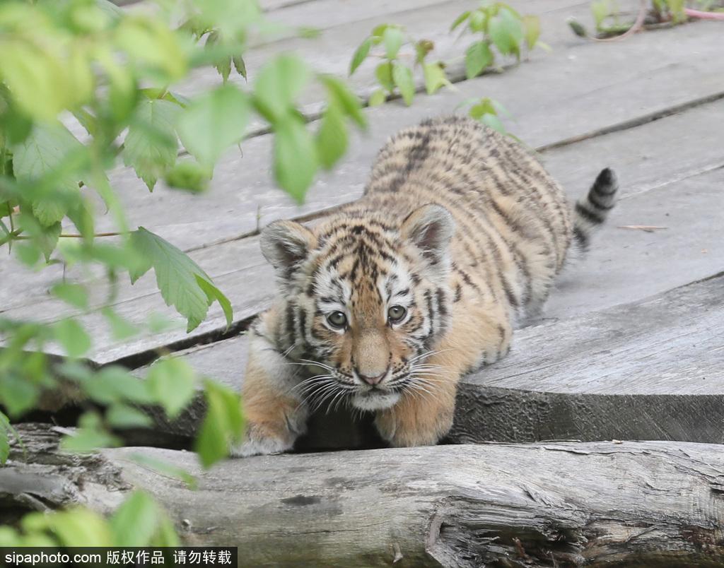 动物园里的老虎妈妈bella的孩子首次亮相公众视野,小虎仔呆萌可爱.