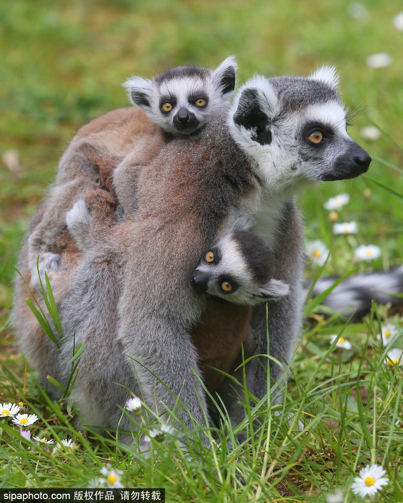 东芝动物乐园环尾狐猴