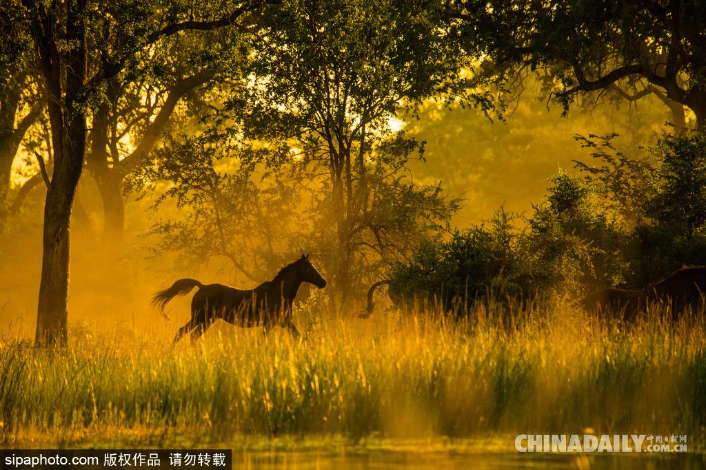 图为博茨瓦纳林间奔跑的马.