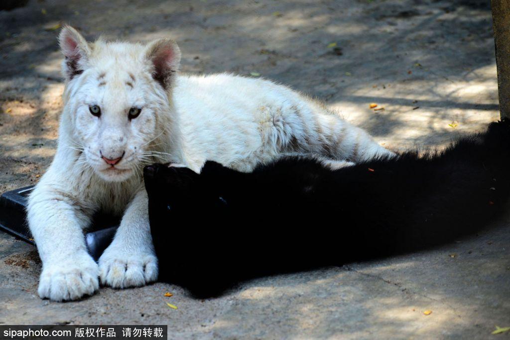 2017年5月25日,青岛森林野生动物世界,小黑熊与小白虎在一起玩耍.