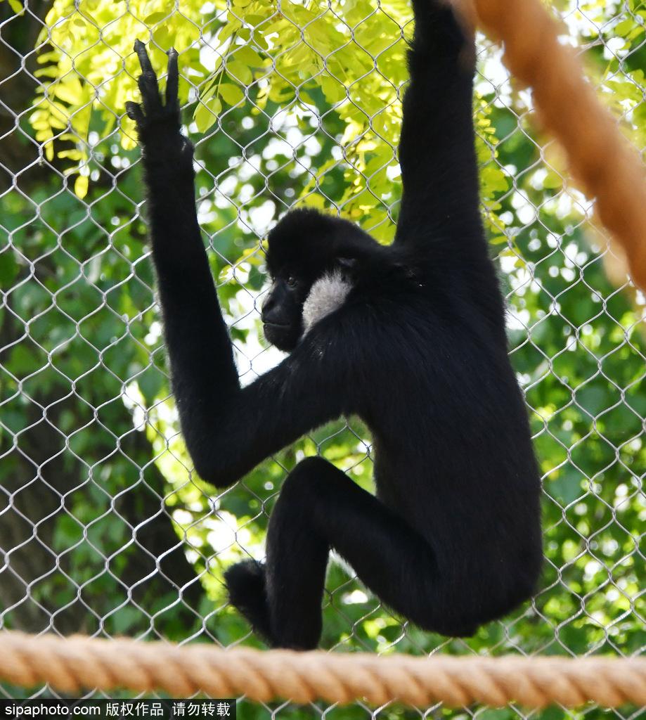 """英国伦敦动物园长臂猿 """"飞檐走壁""""身手敏捷"""
