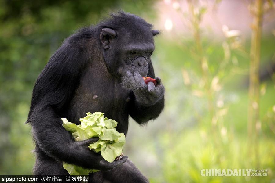 捷克动物园黑猩猩直立行走采摘食物有模有样