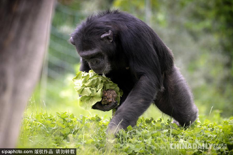 捷克,dvur kralove动物园里的黑猩猩自己寻找食物.