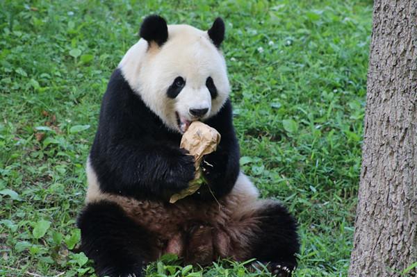 华盛顿国家动物园:旅美大熊猫过得很好