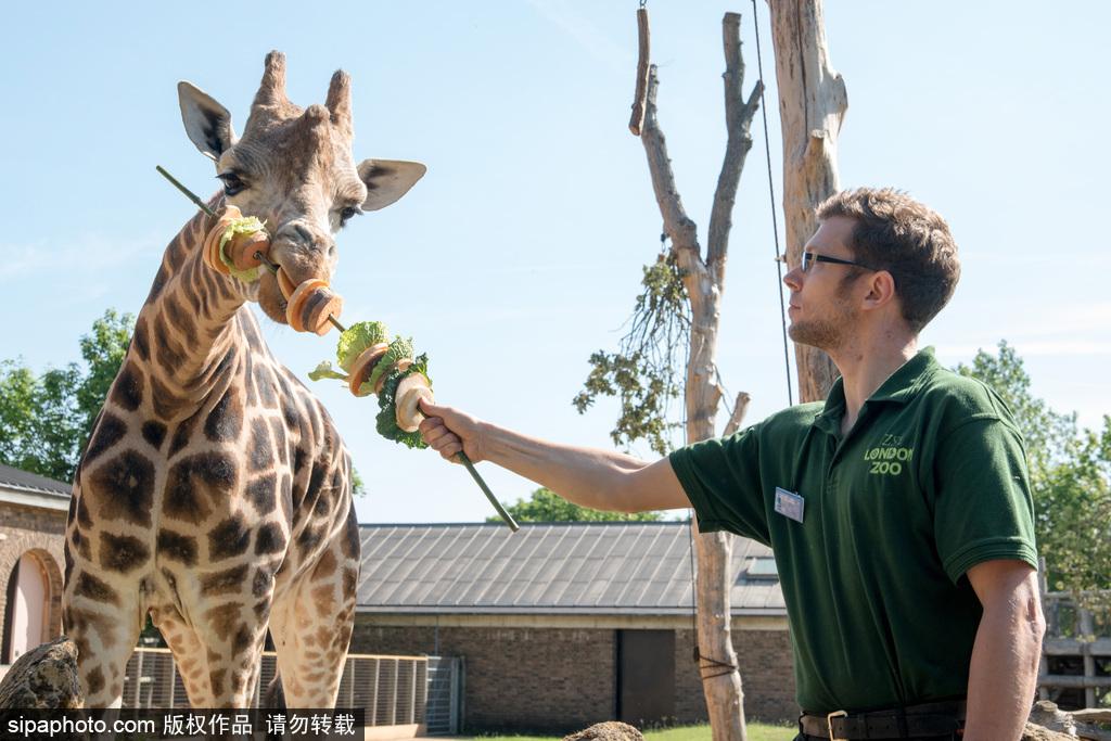 伦敦动物园长颈鹿吃巨型蔬菜串 可爱呆萌
