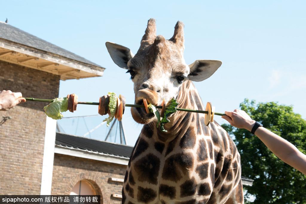 伦敦动物园长颈鹿吃巨型蔬菜串 可爱呆萌[2]- 中国