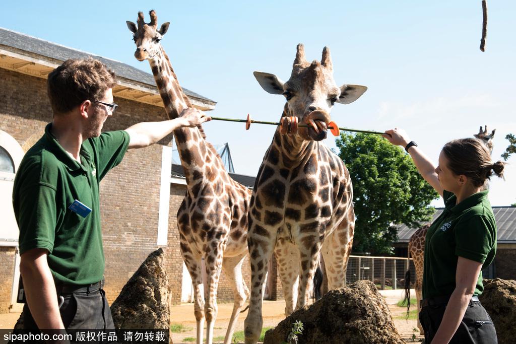伦敦动物园长颈鹿吃巨型蔬菜串