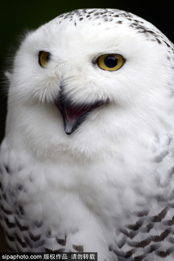 """天生爱笑 捷克动物园里的雪鸮""""笑眯眯""""呆萌可爱"""