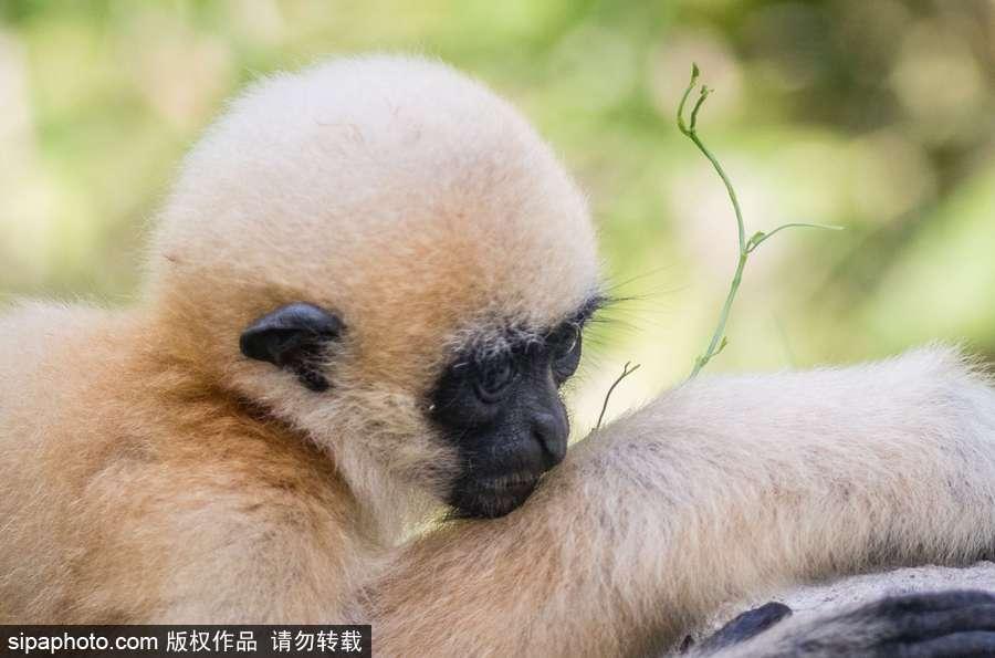 """天生摆""""黑脸"""" 里昂动物园长臂猿幼崽憨傻可爱"""