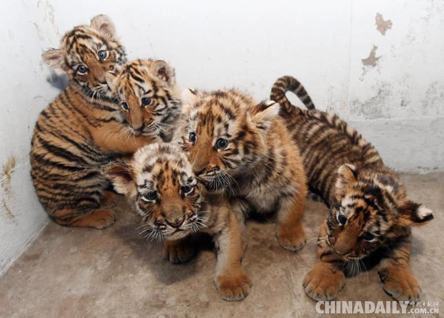 4月13日,黑龙江东北虎林园迎来了一窝五胞胎东北虎宝宝.(摄影 刘洋)图片