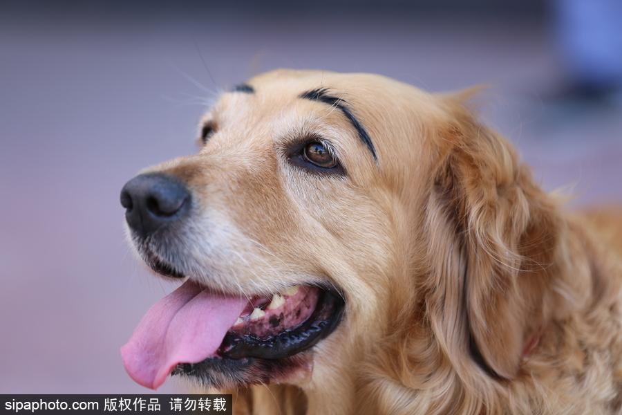 沈阳一金毛犬被纹眉酷似蜡笔小新舞蹈双人蝴蝶图片