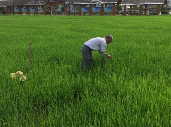 """【双绿报道】""""双绿""""之湖北仙桃富硒产业•绿色种植"""