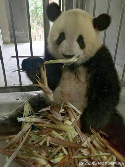 """熊猫""""萌兰""""骨髓炎康复"""