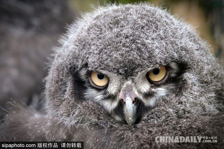 捷克,usti nad labem动物园里一个月大的小雪鸮,眼神时而无辜,时而