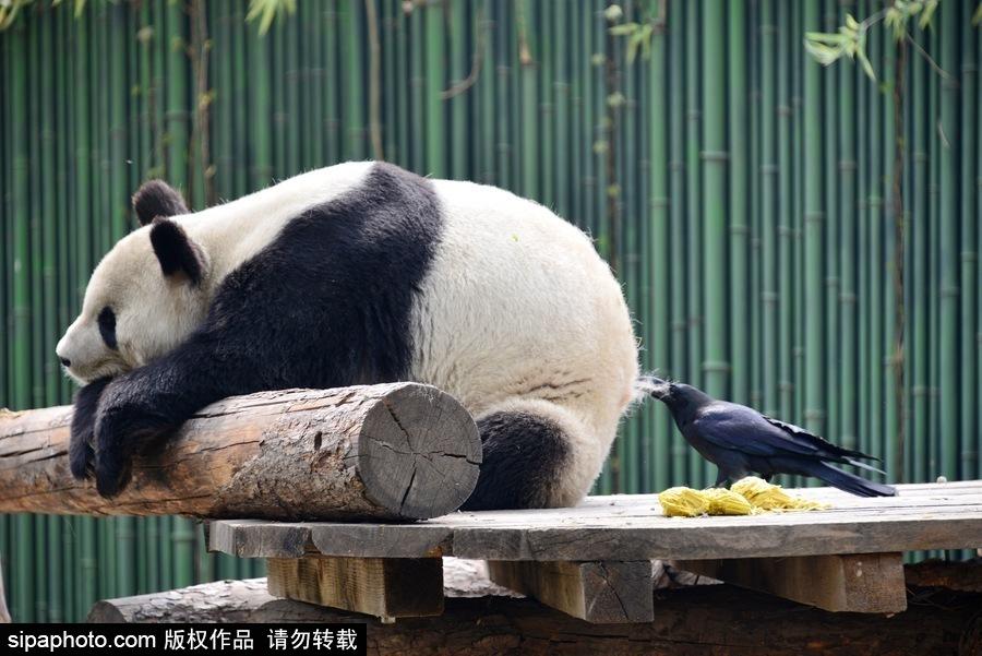 2018年4月9日,北京动物园,乌鸦在啄大熊猫屁股上的毛发.