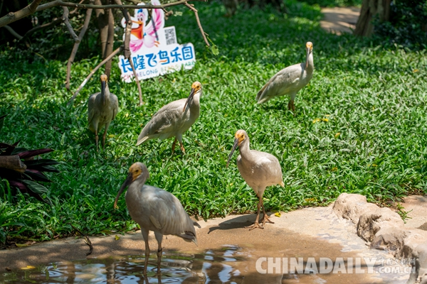 广东长隆华南珍稀野生动物物种保护中心成功繁育珍稀鸟类朱鹮