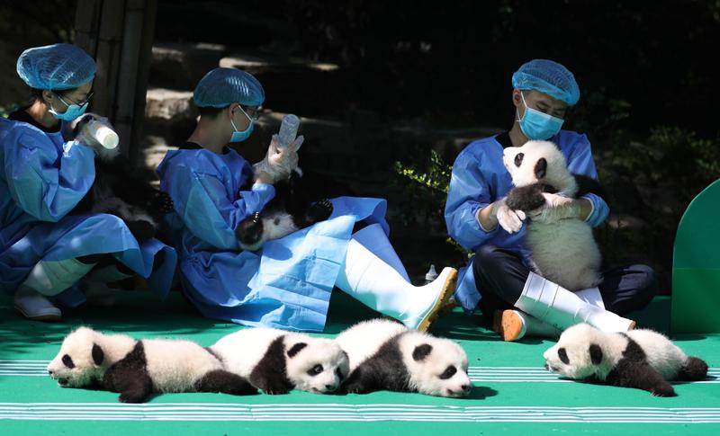 成都新生大熊猫宝宝集体亮相迎国庆