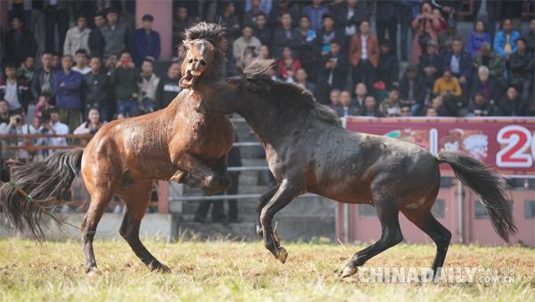 广西融水斗马_最精彩的斗马比赛视频 斗马比赛